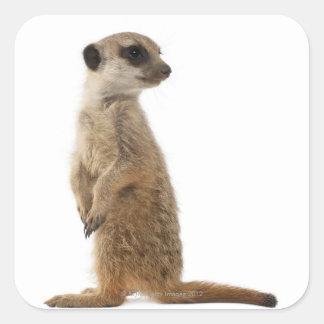 MeerkatかSuricate - Suricataのsuricatta スクエアシール