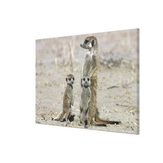 Meerkatのベビーシッターおよび子犬(SuricataのSuricata) キャンバスプリント