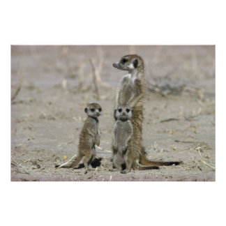 Meerkatのベビーシッターおよび子犬(SuricataのSuricata) ポスター