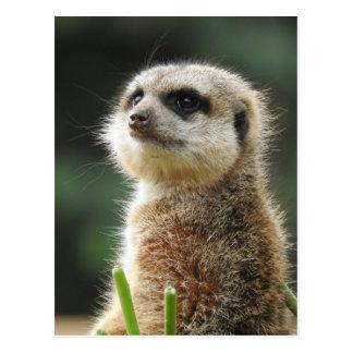 Meerkat ポストカード