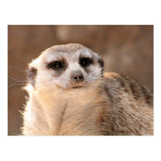Meerkat Postcard ポストカード