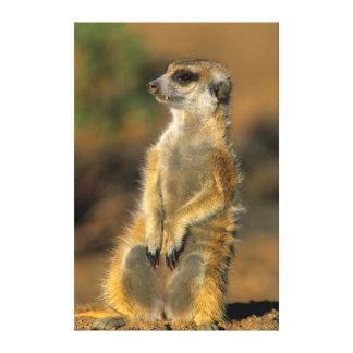 Meerkat (Suricata Suricatta)の歩哨 キャンバスプリント