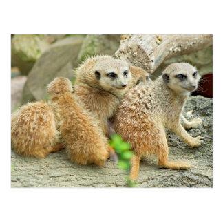 meerkatsの系列-郵便はがき ポストカード