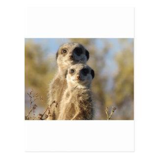 Meerkats ポストカード