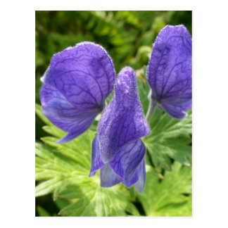Monkshoodの花、Unalaskaの島 ポストカード