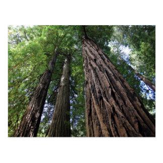 Muirの森 ポストカード
