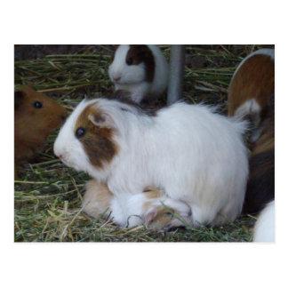 Mummy_And_Baby_Guinea_Pig ポストカード