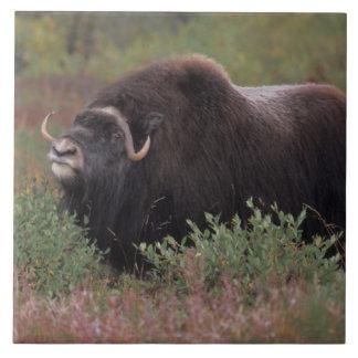 muskoxの雄牛は秋のツンドラ、北の空気をかぎつけます タイル