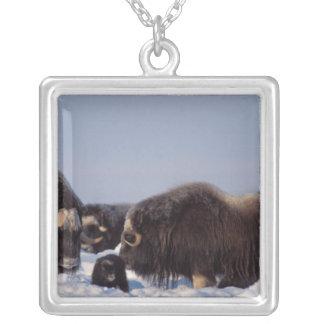 muskox、Ovibosのmoschatus、雄牛および牛との シルバープレートネックレス