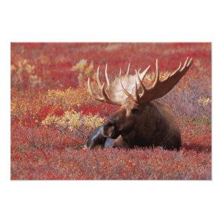 N.A.、米国、アラスカのDenaliの国立公園、Bull フォトプリント