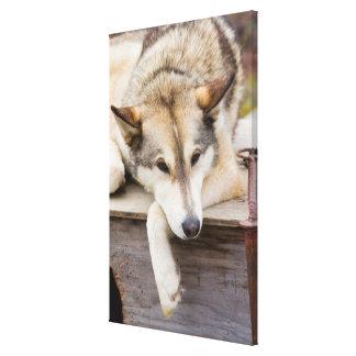 N.A.、米国、アラスカ。 ハスキーなそり犬の キャンバスプリント