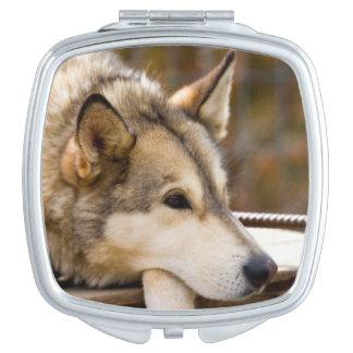 N.A.、米国、アラスカ。 3時のハスキーなそり犬