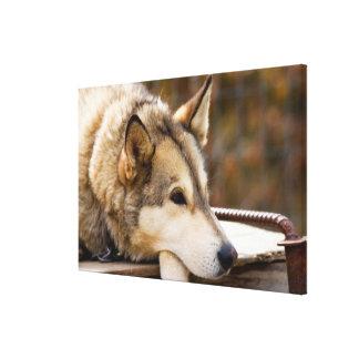 N.A.、米国、アラスカ。 3時のハスキーなそり犬 キャンバスプリント