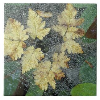 NA、米国、アラスカのnancy湖。 spiderwebの露 正方形タイル大
