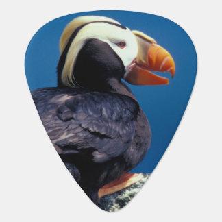 NA、米国、アラスカのPribilofの島、セントポール ギターピック