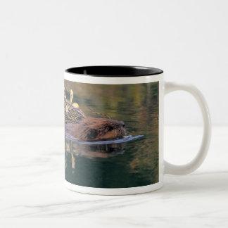 NA、米国、アラスカ、Denali NPのビーバー収集 ツートーンマグカップ