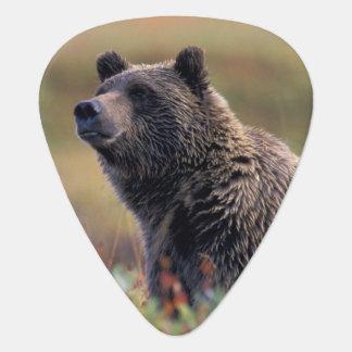 NA、米国、アラスカ、Denali NPの灰色グマ ギターピック