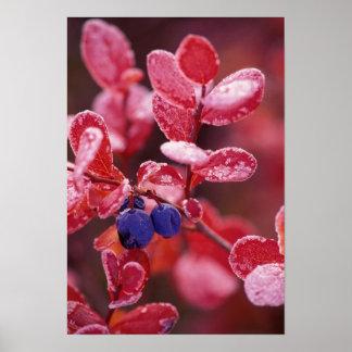 NA、米国、アラスカ、Denali NPの青い果実 ポスター