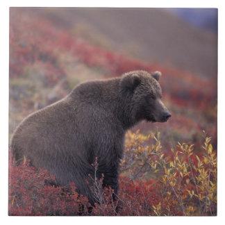 NA、米国、アラスカ、Denali NP。 メスのハイイログマ タイル