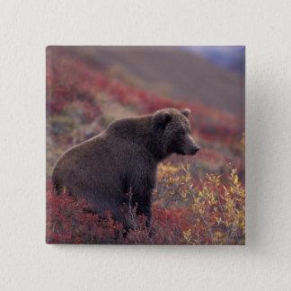 NA、米国、アラスカ、Denali NP。 メスのハイイログマ 5.1cm 正方形バッジ
