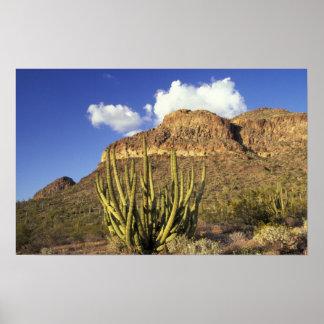 NA、米国、アリゾナ。 オルガン管のサボテンの国民3 ポスター