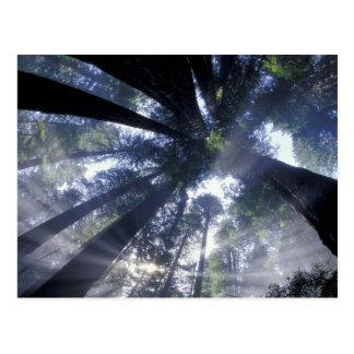 NA、米国、カリフォルニア、Del Norte Redwoodsの国家 ポストカード