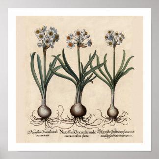 Narcillusの植物のプリント ポスター