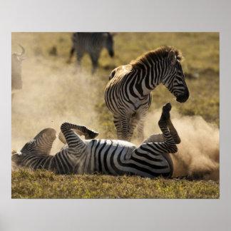 Ngorongoroの噴火口、タンザニアの共通シマウマ、Equus ポスター