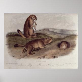 「North AmericaのQuadrupedsからのプレーリードッグ ポスター