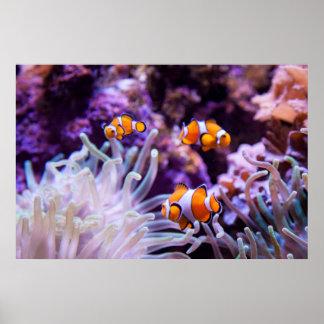Ocellaris Clownfish |のAmphiprion Ocellaris ポスター