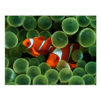 Ocellaris Clownfish ポストカード