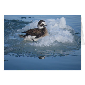 Oldsquawは長く海の氷のアヒルを後につきました カード