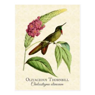 Olivaceous Thornbillのハチドリのヴィンテージの芸術 ポストカード