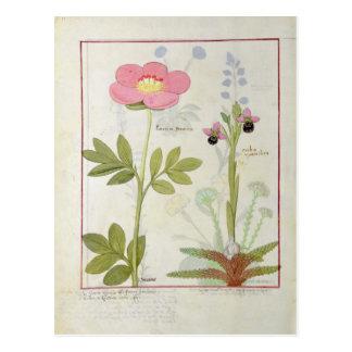 PaeoniaかシャクヤクおよびOrchisのmyanthos ポストカード