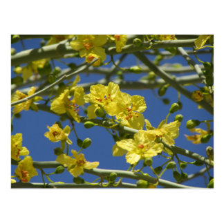 Palo Verdeの開花 ポストカード