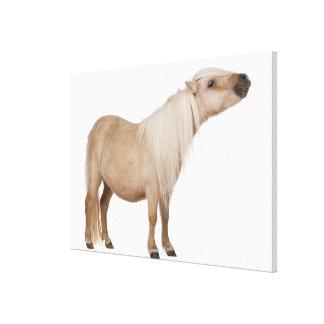 Palominoのシェトランド諸島子馬- Equusのcaballus (3年 キャンバスプリント