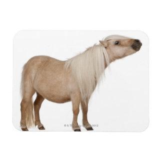 Palominoのシェトランド諸島子馬- Equusのcaballus (3年 マグネット