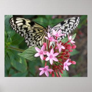Pentasの木のニンフの蝶 ポスター