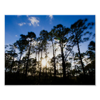 Pine trees, Oxbow Eco-center, Fort Pierce, Florida ポスター