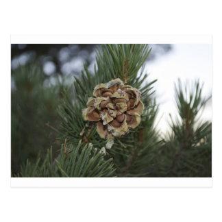 pinecone ポストカード