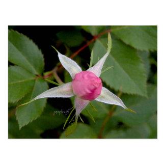 Pink Rose jjhelene Postcard Design ポストカード