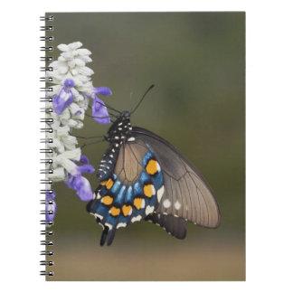 Pipevineのアゲハチョウ、Battusのphilenor、大人 ノートブック