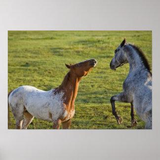 Polson、モンタナの近くの牧草地の馬 ポスター