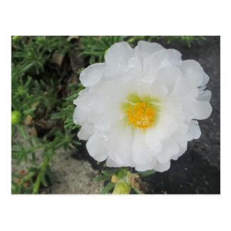 Portulacaの白い花 ポストカード