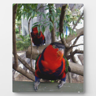 Pretty_Boy_Rainbow_Lorikeet、_ フォトプラーク