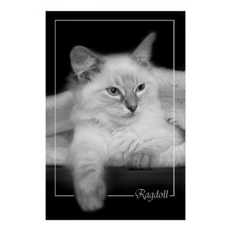 ragdollの子ネコポスター ポスター