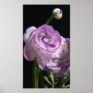 Ranunculusのasiaticusの白いペルシャのキンボウゲII ポスター