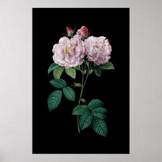 Redouteの黒い背景ポスターのピンクのバラ ポスター