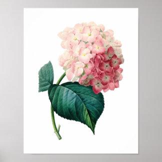 Redoute著アジサイのオリジナルの植物のプリント ポスター