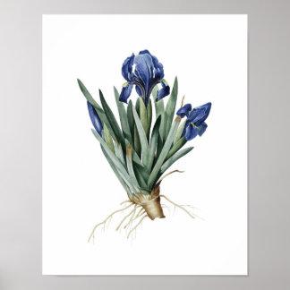 Redoute著元のアイリスの植物のプリント ポスター
